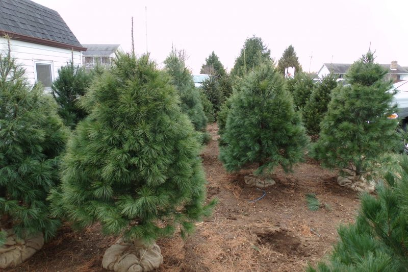 Live trees for sale