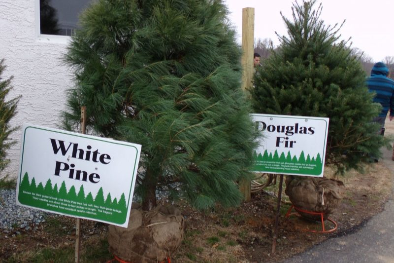 White Pine, Douglas Fir
