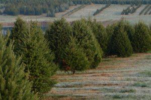 xmas trees